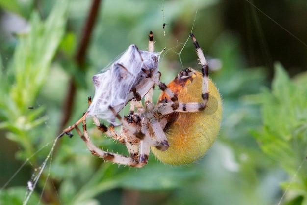 Une grande araignée araneus femelle jaune dans une toile avec des proies. araignée de chasse réussie. araignée effrayante pour halloween