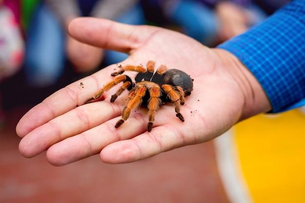 Grande araignée poilue dans la paume de l'homme