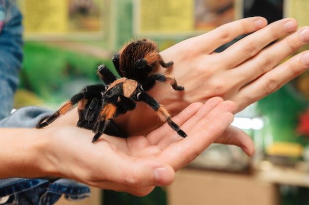 Une grande araignée tarentule est assise sur le bras.