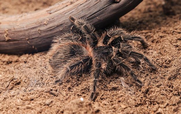 Grande araignée tarentule sur une surface en terre.