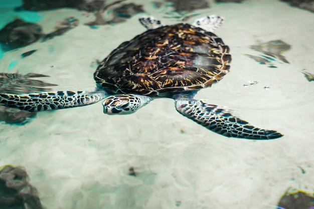 Grande belle tortue de mer dans l'eau claire.