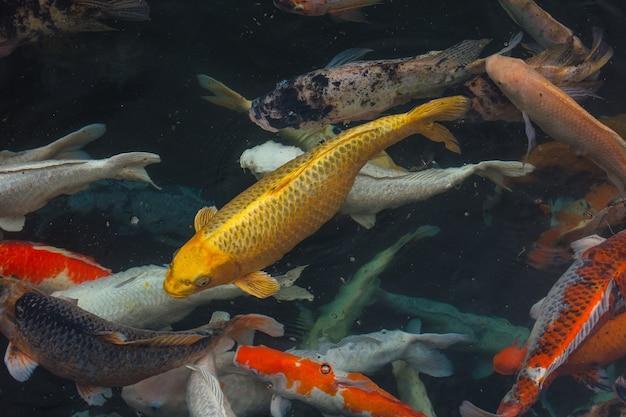 La grande carpe de poisson d'or nage dans l'étang dans le contexte d'autres carpes colorées