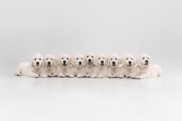 Grande famille. golden retrievers crème anglais posant. de mignons toutous ludiques ou des animaux de compagnie de race pure ont l'air mignons isolés sur un mur blanc. concept de mouvement, d'action, de mouvement, d'amour des chiens et des animaux de compagnie. espace de copie.