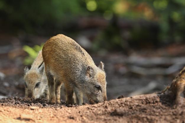 Grande famille de sangliers dans l'habitat naturel en république tchèque