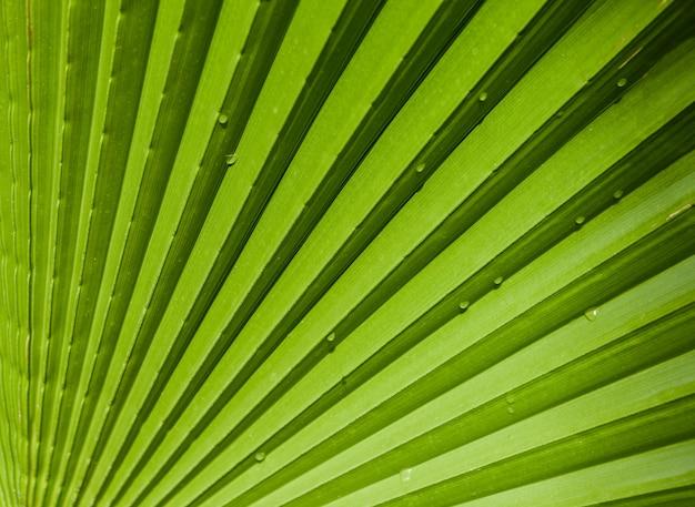Grande feuille de palmier vert avec des gouttes d'eau, gros plan, arrière-plan ou papier peint