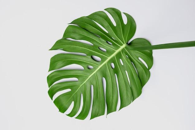 Grande feuille verte de monstera plante sur fond blanc