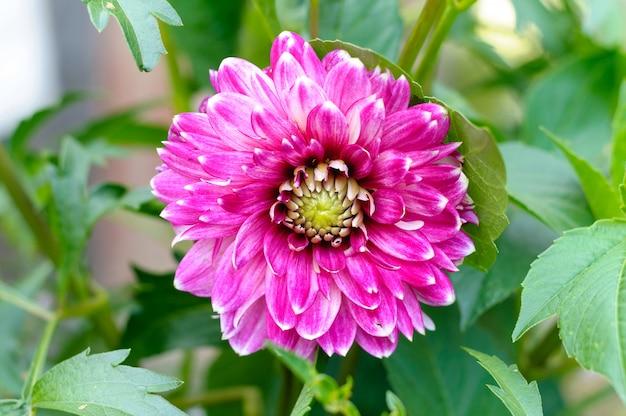 Grande fleur de dahlia rose dans un jardin d'automne