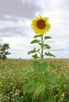 Une grande fleur rurale entourée de cultures fourragères mûres. altaï, sibérie, russie
