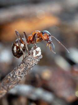 Grande fourmi forestière rouge dans son habitat naturel