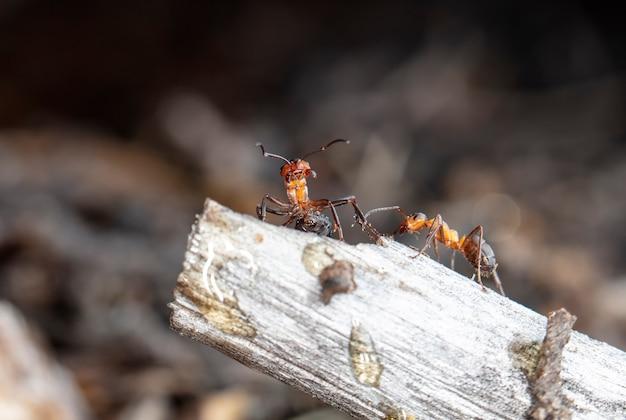 Grande fourmi de forêt rouge dans l'habitat naturel