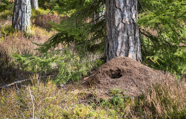 Grande fourmilière dans la pinède au printemps, détruite par le pic vert chassant pour se nourrir en hiver