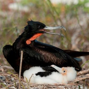 Grande frégate (fregata minor) avec son poussin au nid, île genovesa, îles galapagos, équateur