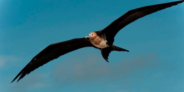 Grande frégate (fregata minor) en vol, île de genovesa, îles galapagos, équateur