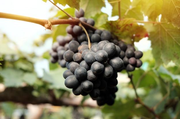 Grande grappe de raisin de vin est suspendue à partir de raisins sur le vignoble