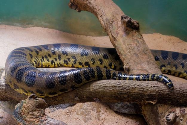 Une grande image de plan rapproché d'anaconda du zoo