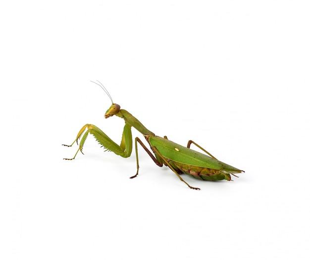 Une grande mante verte avec de longues antennes se tient sur le côté