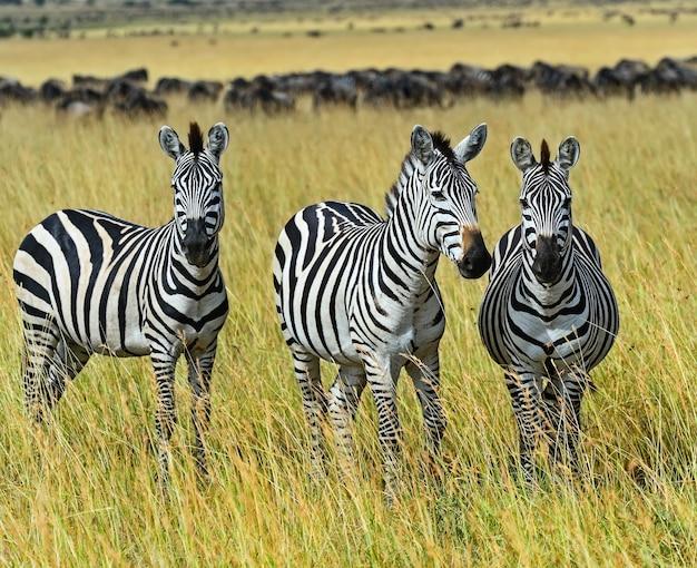 Grande migration de zèbre dans le masai mara
