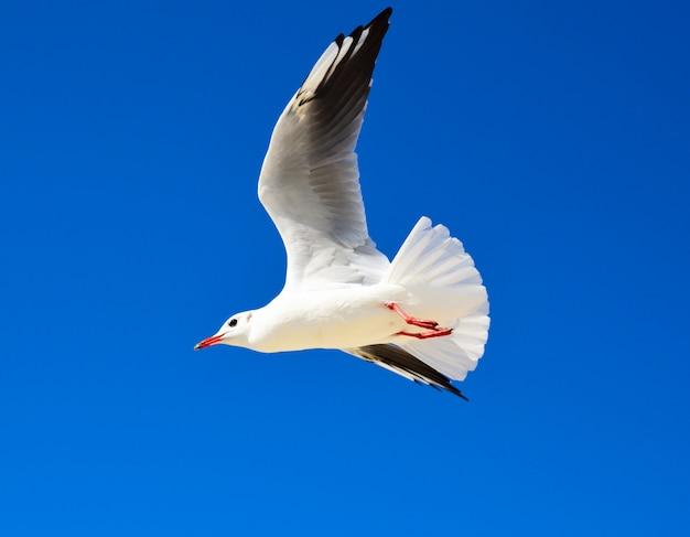 Grande mouette blanche vole contre un ciel bleu clair