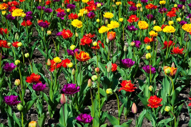 Grande quantité de tulipes rouges. tulipes dans un paysage typique