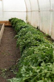 Une grande récolte de carottes est empilée en rangées. carottes vierges.