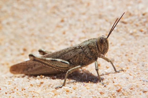 Grande sauterelle, sauterelles se prélassant sur la plage.