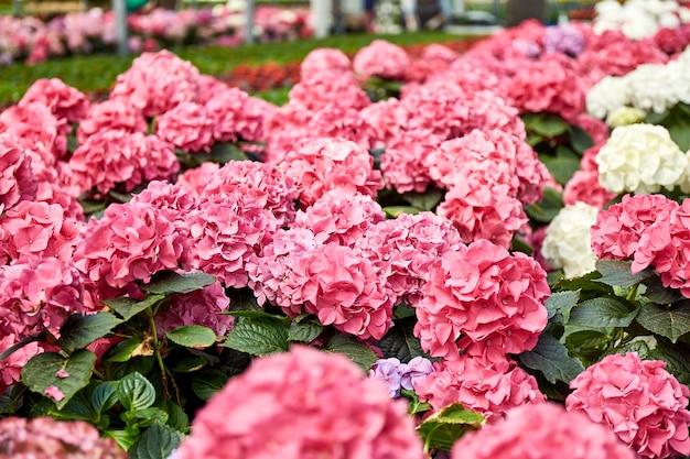 Grande serre industrielle avec des fleurs d'hortensia colorées dans des pots tout autour