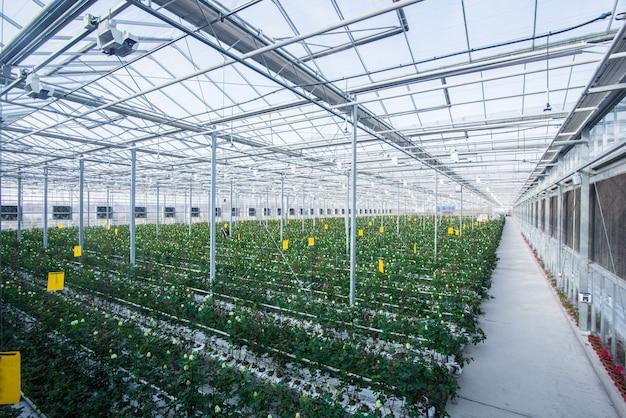 Grande serre industrielle avec roses hollandaises, le plan d'ensemble