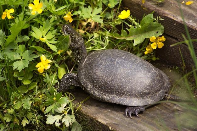 Une grande tortue européenne est assise sur une planche de bois près du réservoir. elle tendit la tête.