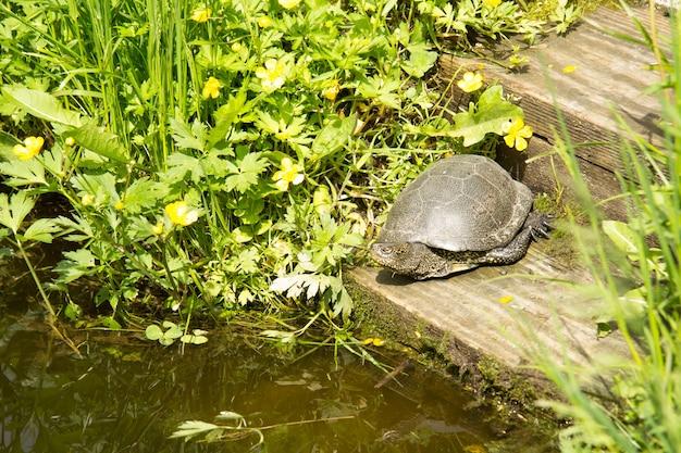 Une grande tortue européenne se prélasse au soleil sur une planche en bois près de l'étang. habitat.