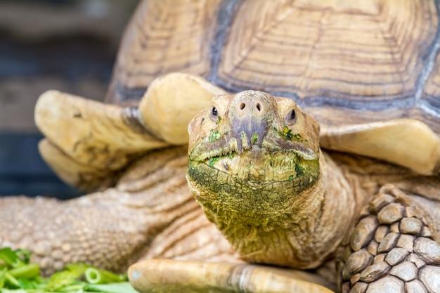 Une grande tortue de terre