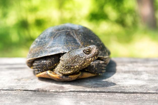 Grande tortue sur le vieux bureau en bois avec l'herbe ensoleillée sur le fond