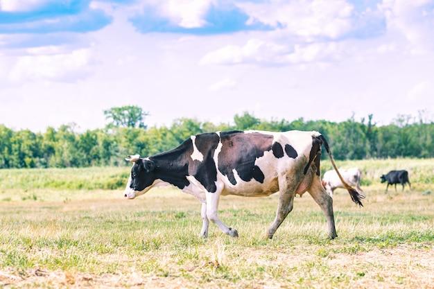 La grande vache broute dans le pré sur fond de ciel