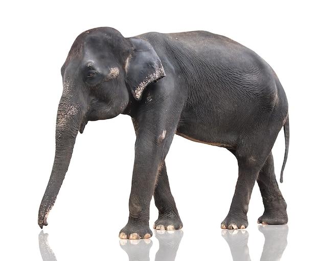 La grande vache éléphant gris est isolée