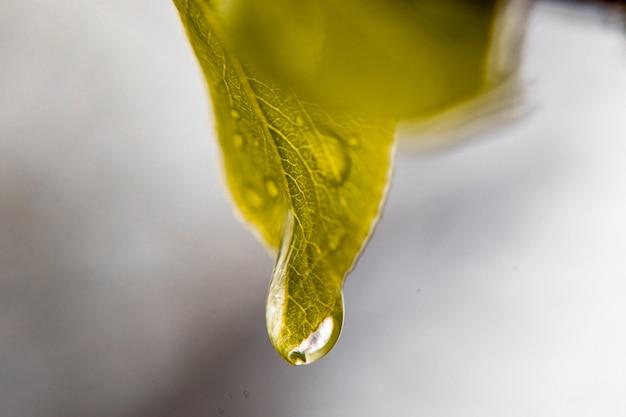 Grandes belles gouttes d'eau de pluie transparente sur une macro de feuille verte.