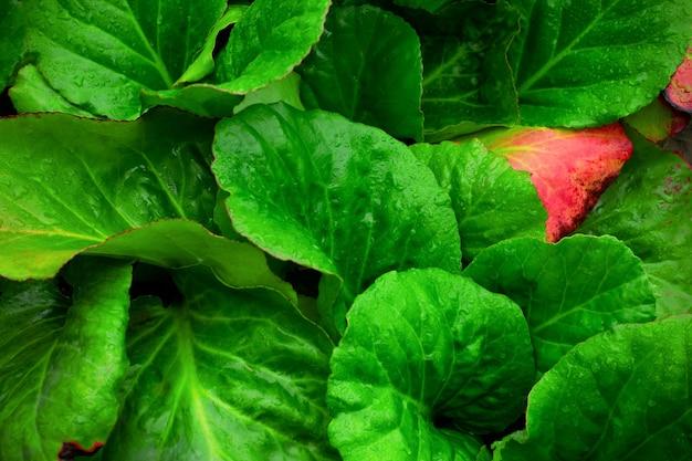 Grandes feuilles de plante rose vert vif avec des gouttes de pluie dessus