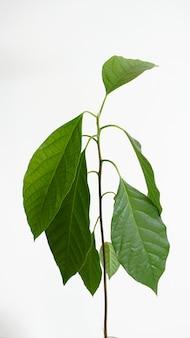 Grandes feuilles saines bébé avocatier espace copie fond blanc