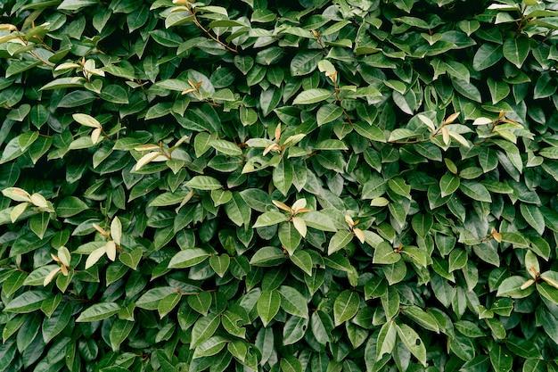 Grandes feuilles vertes sur un buisson de magnolia