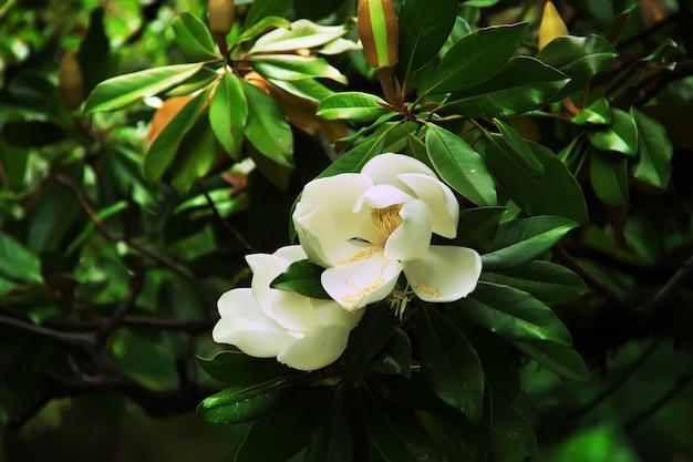 Grandes fleurs blanches de magnolia grandiflora. magnolia du sud (ou bull bay) en fleurs.