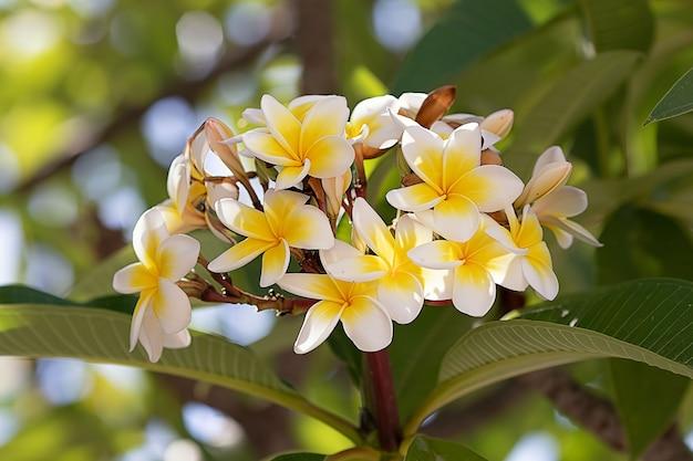 Grandes fleurs de plumeria qui poussent sur un arbre