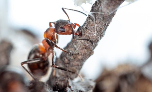 Grandes fourmis forestières dans un habitat indigène