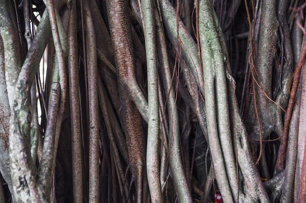 Grandes racines d'arbres comme toile de fond texturée en bois. fond organique. macro.