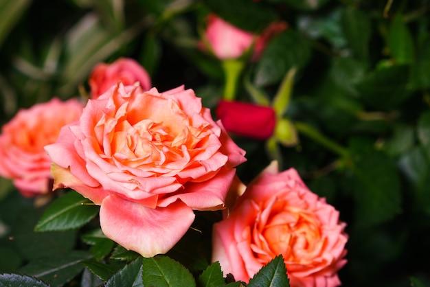 Grandes roses pêches claires bicolores comme des pivoines à double volant sur fond de feuilles sur un buisson d...