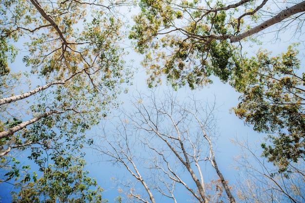 Grands arbres tombés feuilles au ciel.