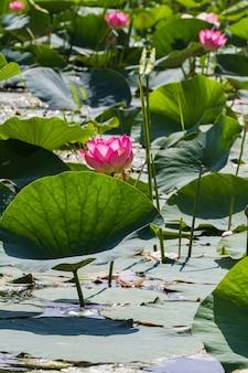 Grands champs de lotus dans le delta de la volga