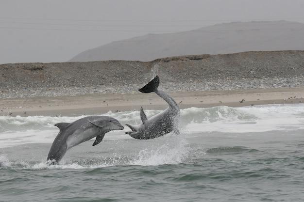 Grands dauphins sauvages combattant la côte péruvienne