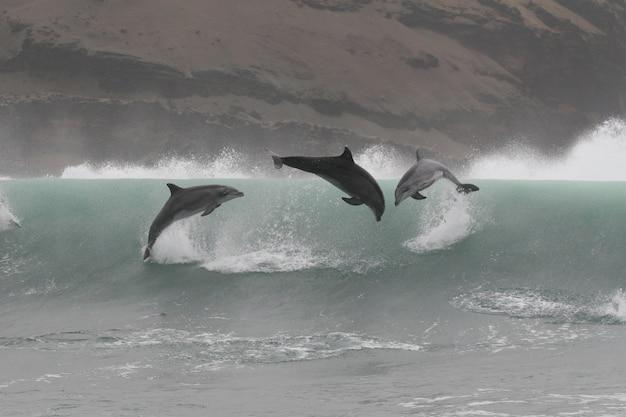 Grands dauphins sauvages sautant au large de la côte du pérou