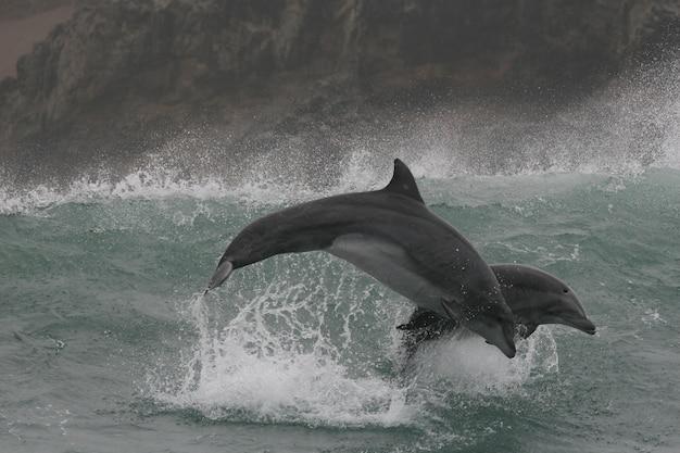Grands dauphins sauvages sautant dans les vagues au large des côtes du pérou