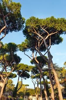 Grands pins dans le parc de la ville de rome, italie.