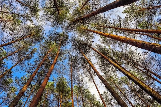 Grands troncs de pins sur fond de ciel bleu dans la forêt