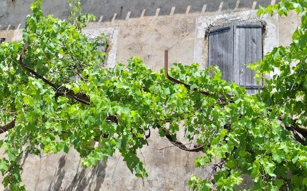 Grapevine grimpant devant une façade de vieille maison provençale aux volets fermés